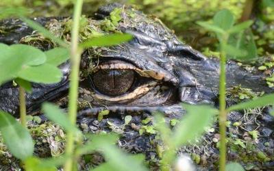 caw-caw-alligator